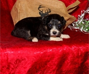 Miniature Bernedoodle Puppy for sale in CASSVILLE, MO, USA
