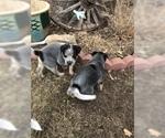 Australian Cattle Dog Puppy For Sale in BOZEMAN, MT, USA