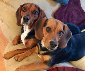 Beagle Dog For Adoption in PASADENA, MD, USA