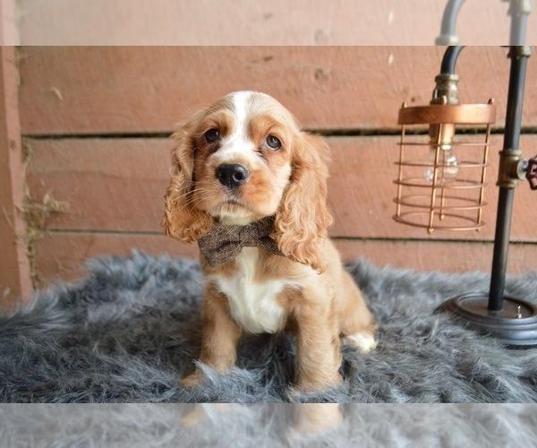 View Ad: Cocker Spaniel Puppy for Sale near In Greece