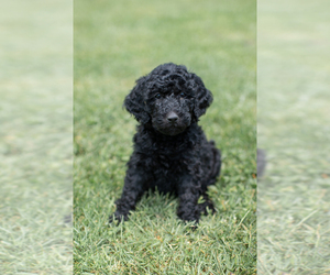 Goldendoodle Puppy for sale in CEDAR BLUFF, VA, USA