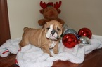 English Bulldog Puppy For Sale in WHITE HALL, MD, USA