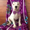 Dogo Argentino Puppy For Sale in QUARRYVILLE, PA, USA