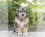 Puppy 8 Bernedoodle