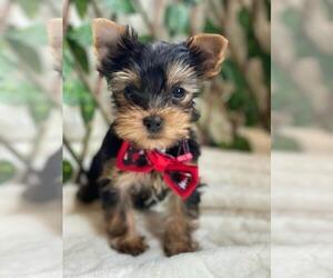 Yorkshire Terrier Dog for Adoption in PALO ALTO, California USA