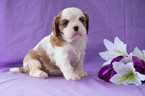 Cavalier King Charles Spaniel Puppy For Sale in CUYAHOGA FALLS, OH, USA