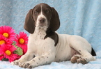 German Shorthaired Pointer Puppy For Sale in MOUNT JOY, PA,