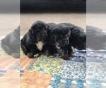 Small #2 Tibetan Mastiff