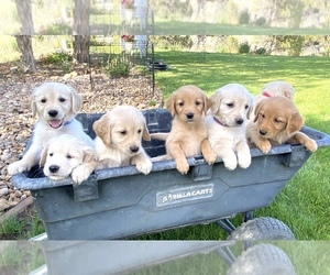 Golden Retriever Puppy for sale in N PROVIDENCE, RI, USA
