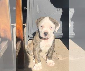 American Bulldog Puppy for sale in EAST WENATCHEE, WA, USA