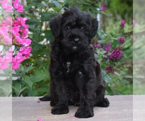 Poodle (Miniature)-Soft Coated Wheaten Terrier Mix Puppy for sale in MILLERSBURG, PA, USA