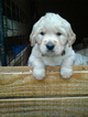 Golden Retriever Puppy For Sale in HONEA PATH, SC, USA