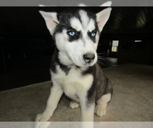 Siberian Husky Puppy for sale in S BEND, IN, USA