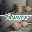 Puppy 3 Dogue de Bordeaux