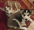Siberian Husky Puppy For Sale in ORLANDO, FL, USA