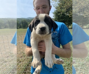 Great Pyrenees-Siberian Husky Mix Puppy for Sale in NEOLA, West Virginia USA
