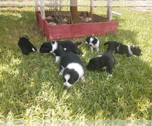 Border Collie Puppy for sale in LOX, FL, USA