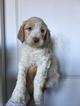 Brittnepoo Puppy For Sale in WOODLAND, WA, USA
