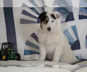 Collie Puppy for sale in FREDERICKSBG, OH, USA