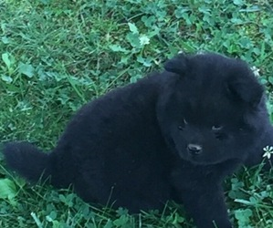 Chow Chow Puppy for sale in BURKESVILLE, KY, USA