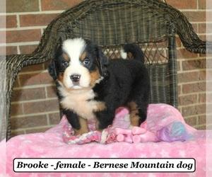Bernese Mountain Dog Puppy for sale in CLARKRANGE, TN, USA