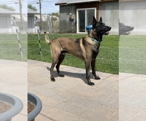 Father of the Belgian Malinois puppies born on 05/01/2021