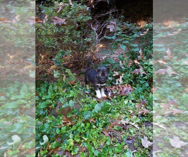 Medium Photo #2 Wolf Hybrid Puppy For Sale in HARRISON, AR, USA