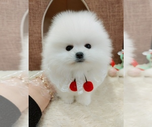 Pomeranian Puppy for sale in New Westminster, British Columbia, Canada