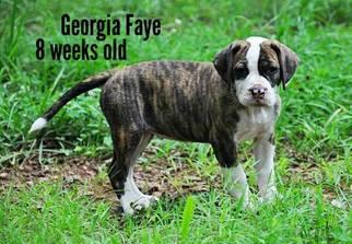 Alapaha Blue Blood Bulldog Puppy For Sale in CLEVELAND, GA, USA