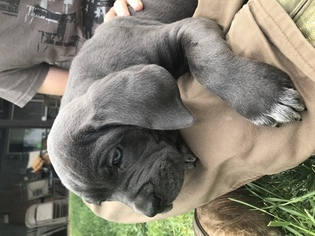 Cane Corso Puppy For Sale in NORCO, CA, USA