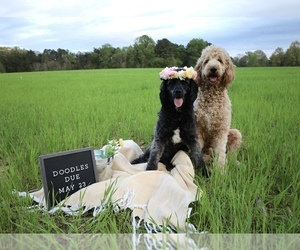 Mother of the Goldendoodle puppies born on 05/19/2021