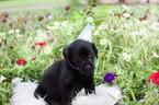 Labrador Retriever Puppy For Sale in CANTON, GA, USA