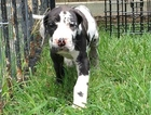 Great Dane Puppy For Sale in FORNEY, TX,