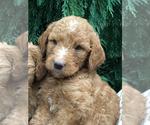 Puppy 3 Goldendoodle-Poodle (Miniature) Mix