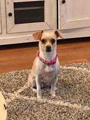 Annie - Beagle / Chihuahua / Mixed Dog For Adoption