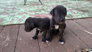 Great Dane Puppy for sale in BENSON, NC, USA