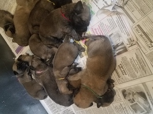 Mastiff Puppy for sale in MYERSTOWN, PA, USA