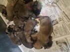 Mastiff Puppy For Sale in MYERSTOWN, PA