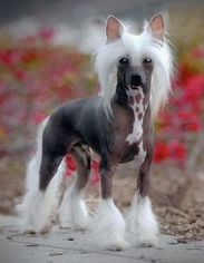 Chinese Crested Puppy For Sale in OCEAN VIEW, DE