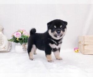 Shiba Inu Puppy for sale in SAN GABRIEL, CA, USA