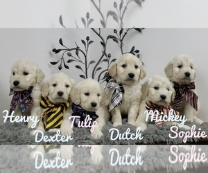 Goldendoodle Puppy for sale in SEYMOUR, MO, USA