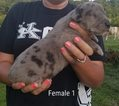 Great Dane Puppy For Sale in BRODHEAD, KY,