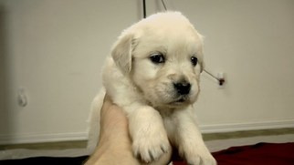 Golden Retriever Puppy For Sale in AVA, MO, USA