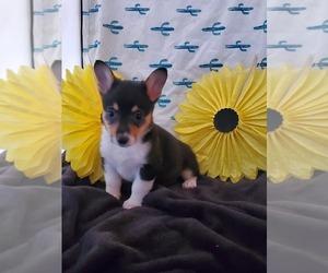 Pembroke Welsh Corgi Puppy for sale in RICHLAND, MO, USA
