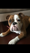 English Bulldog Puppy For Sale in SAINT LOUIS, MO, USA