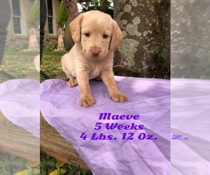 Labradoodle Puppy for Sale in ORANGE PARK, Florida USA