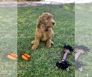 Goldendoodle Puppy for Sale in PAHRUMP, Nevada USA