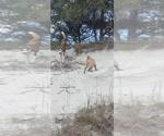 Small #6 Siberian Husky