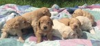 Labradoodle Puppy For Sale in PLANT CITY, FL,