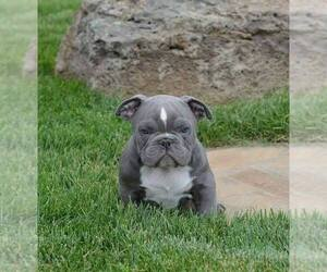 American Pit Bull Terrier Puppy for sale in CENTREVILLE, VA, USA